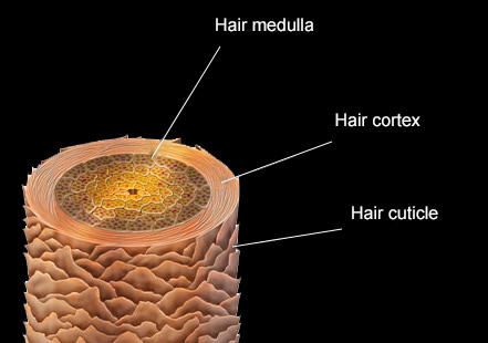The cross-section of the hair fibre